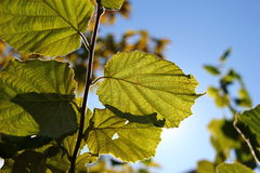 Blätter, die oben Licht tränken Lizenzfreie Stockfotografie