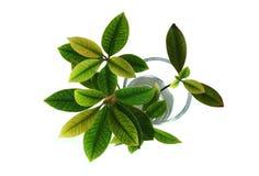 Blätter in einem Glas Lizenzfreies Stockbild