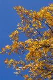 Blätter einer Eiche Stockfotos