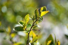 Blätter einer erstaunliche Frische im Frühjahr Stockbild