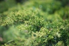 Blätter einer erstaunliche Frische im Frühjahr stockfoto