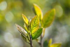 Blätter einer erstaunliche Frische im Frühjahr lizenzfreie stockfotos