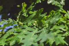 Blätter einer jungen Eiche und der kleinen nicht gereiften Eicheln lizenzfreies stockbild