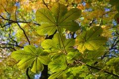 Blätter einer Kastanie Stockfoto