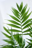 Blätter einer palmenartigen Anlage Stockfotos
