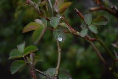 Blätter einer Rose lizenzfreie stockbilder