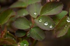 Blätter einer Rose lizenzfreies stockbild