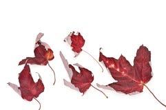 Blätter eines Ahornholzes Lizenzfreies Stockfoto