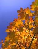 Blätter eines Ahornholzes Lizenzfreie Stockfotos