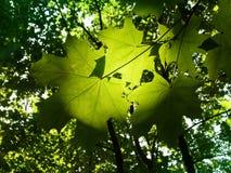 Blätter eines Baums ein Ahornholz stockfoto