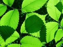 Blätter eines Baums eine Ulme stockfoto