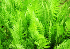 Blätter eines Farns Stockfoto