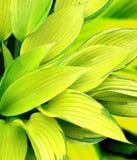 Blätter eines Hosta Lizenzfreies Stockbild