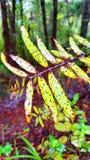 Blätter eines jungen Kauri Stockbild