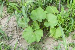 Blätter eines Kürbises Die Melonenernte Stockfotos