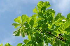 Blätter eines Kastanienbäume Aesculus hippocastanum Lizenzfreie Stockbilder