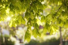 Blätter eines Kastanienbaums (Aesculus hippocastanum) im Frühjahr Stockbilder