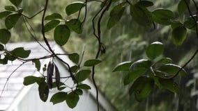 Blätter eines madron Baums mit dem Schnee, der auf ein verschüttetes Dach zurückfällt stock video footage