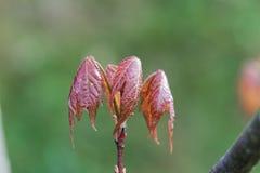 Blätter eines Rotahornbaum Acer-Rubrum Lizenzfreies Stockfoto