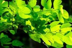 Blätter erhellt im Wald lizenzfreie stockfotografie