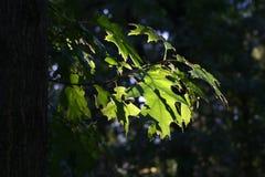 Blätter gegen die Sonne Lizenzfreie Stockfotos