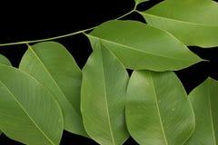 Blätter, geschlossen oben an den grünen Blättern lokalisiert auf schwarzem Hintergrund Stockbild