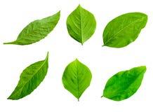Blätter getrennt auf weißem Hintergrund Stockbilder