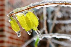 Blätter im Eis Stockbilder