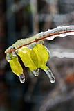 Blätter im Eis Stockfoto