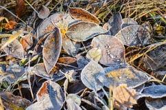 Blätter im Reif. Stockfoto