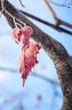 Blätter im Reif. lizenzfreies stockbild