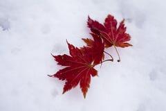 Blätter im Schnee Stockbild