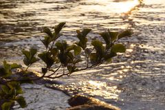 Blätter im Sonnenuntergang vor schimmerndem Wasser stockbild