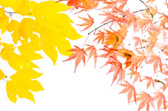 Blätter, Laub, Atelieraufnahme, Ahorn, Stockfoto