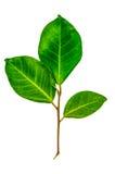 Blätter lokalisiert auf weißem Hintergrund Stockbild