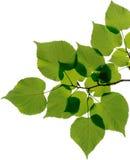 Blätter lokalisiert auf weißem Hintergrund Stockfotografie