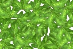 Blätter masern mit Tröpfchen auf weißem Hintergrund Stockbilder