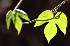 Blätter mit dunklem Hintergrund Lizenzfreie Stockfotos