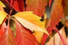 Blätter mit einen gelbe Trauben Lizenzfreie Stockbilder