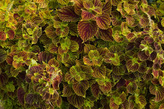 Blätter mit Purpur adert Hintergrund Stockfotos