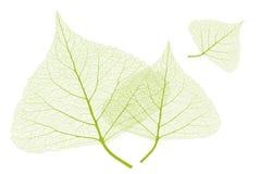 Blätter mit Rippen Stockbilder