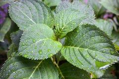 Blätter mit Tropfen des Wassers Lizenzfreies Stockbild