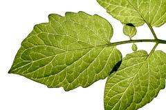 Blätter mit weißem Hintergrund Lizenzfreie Stockfotos
