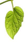 Blätter mit weißem Hintergrund Lizenzfreie Stockfotografie