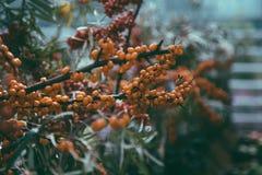 Blätter, Niederlassungen und Beeren des Sanddorns stockfotos