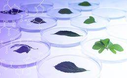 Blätter in Petri Dish Stockfoto