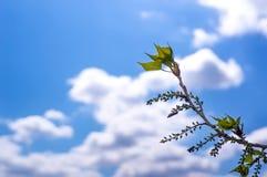 Blätter sind, wachsend im Frühjahr keimend und mit blauem Himmel auf Niederlassungen Stockfotos