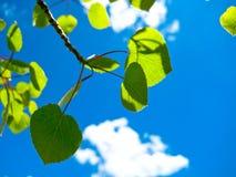 Blätter am Sommer Stockfoto