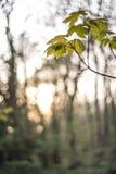 Blätter am Sonnenuntergang Lizenzfreie Stockfotos