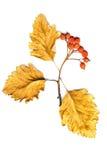 Blätter und Bündel Weißdorn auf einem weißen Hintergrund getrennt Stockfoto